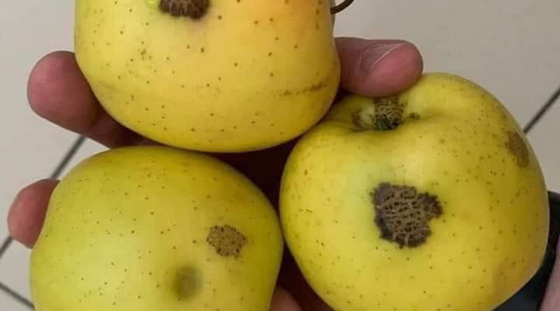 """""""Бачите ці плями на яблуках? Такі зустрічаються на грушах, кавунах, динях, сливі, айві іноді навіть на солодкому перці."""""""