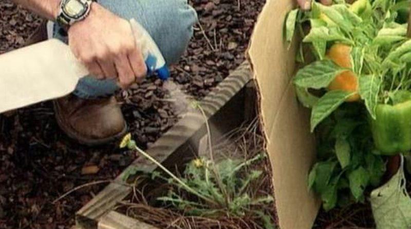 В минулому році я вперше застосувала в саду оцет. Тепер всі сусіди роблять те ж саме!