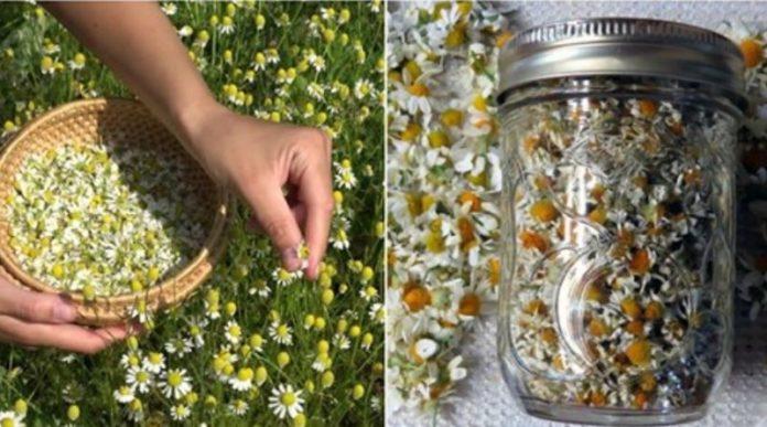 Ромашки — квіти, які лікують багато хвороб. Встигніть запастись цим даром природи.