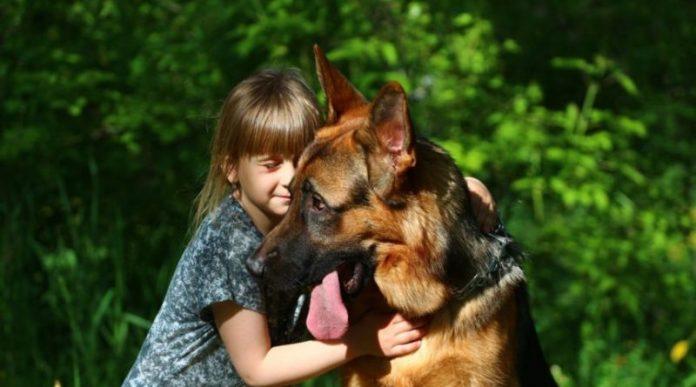 Хлопцеві, наречена подарувала цуценя німецької вівчарки, а через чотири роки собака врятувала їхню родину від непоправного