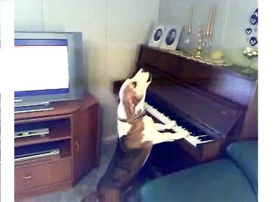 Собака грає на піаніно і чудово співає! Ви не повірите своїм очам коли побачите!
