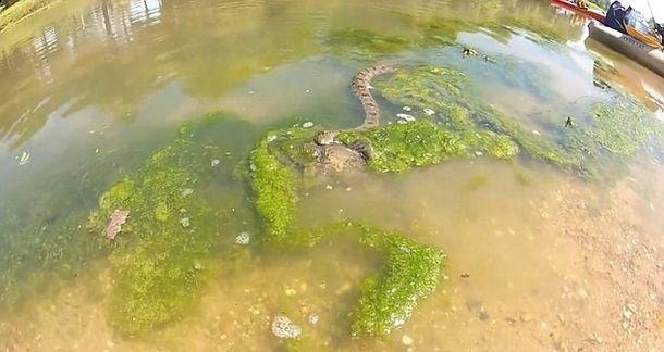 Змія наблизилася до величезної риби. А тепер увага на 0:19