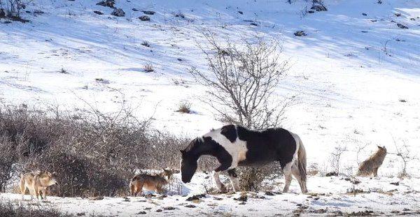 Голодні вовки оточили коня, але у те що трапилося після – неможливо повірити…