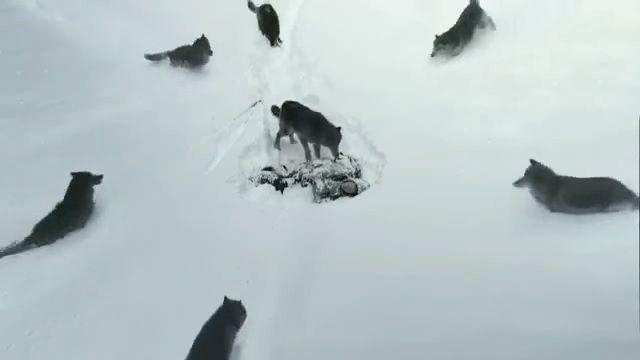 Вовки з людським серцем … Ролик, який підкорив світ!