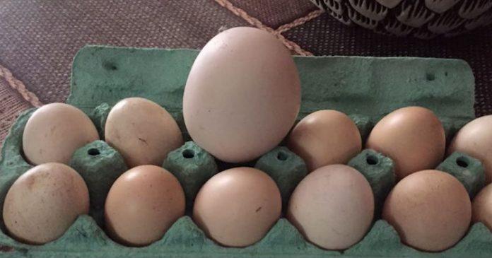 Вона знайшла в своєму курнику підозріло велике яйце … Коли його розбили, всі були здивовані!