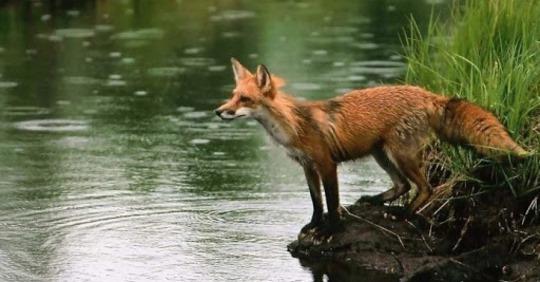 Дика лисиця підійшла до води:А тепер увага на 0:26. Оператор не забуде ЦЕ до кінця жuття.Обов'язково до перегляду