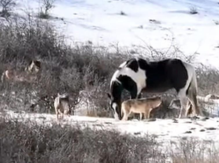 Голодні вовки оточили коня, але у те що трапилося після – неможливо повірити