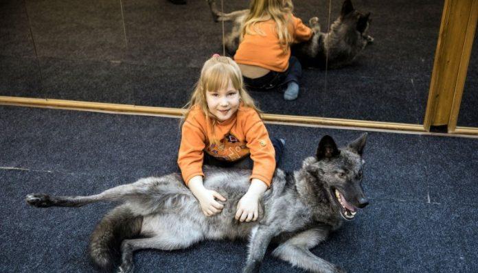7-річна дівчинка приручила вовка завдяки сосискам! Дивіться що було дальше..