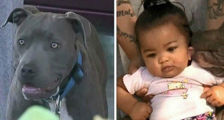Пітбуль схопив дитину і потягнув. Господиня собаки до сих пір не знає як віддячити пса …