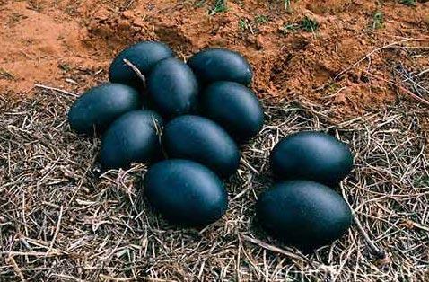 Чоловік з Вінничини знайшов дивні яйця чорного кольору – коли він побачив, що з них вилупилося, то був шокованuй