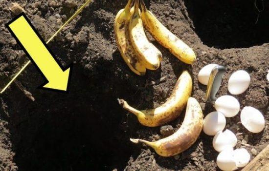 Побачила, як сусідка закопує в землю яйце з бананом. Тепер завжди так роблю…
