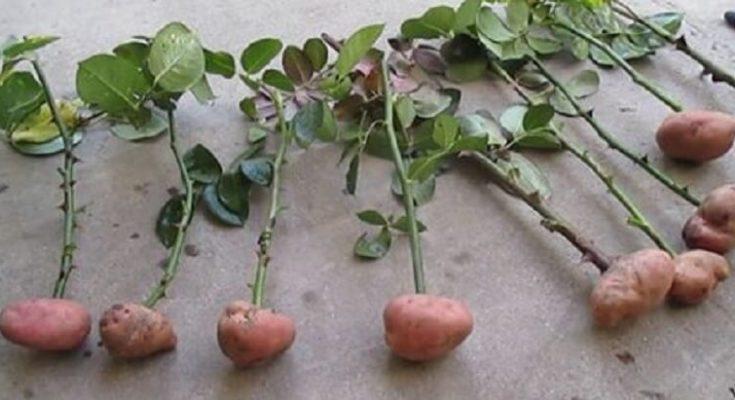 Встроми в картоплю зрізані троянди. Через 2 місяці трапилося щось вражаюче і прекрасне!