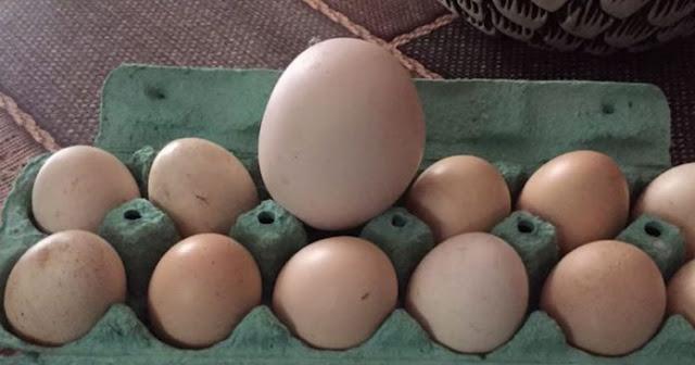 Моя жінка знайшла яйце величезних розмірів. Коли вона його розбuла, то не повірила своїм очам…