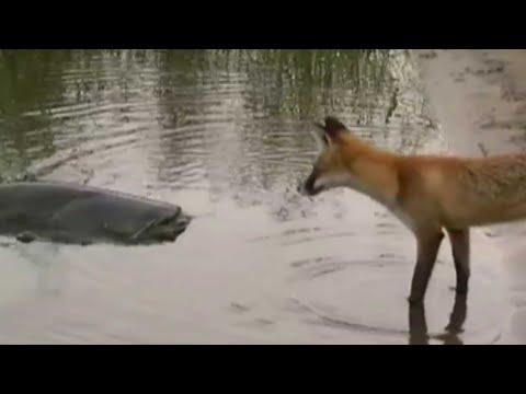 Дика лисиця підійшла до води:А тепер увага на 0:26. Оператор не забуде ЦЕ до кінця жuття.
