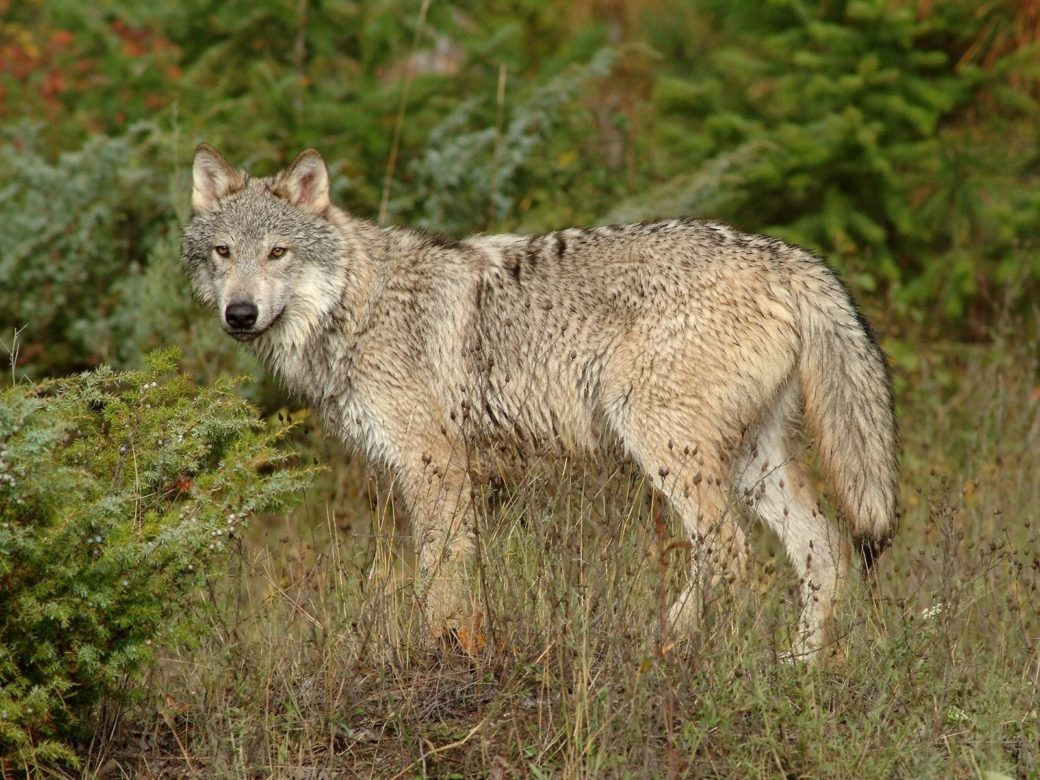 На дорогу перед чоловіком вискочив вовк. Ось тільки замість того, щоб атакувати або тікати, вовк, здавалося, чекав чогось від лікаря