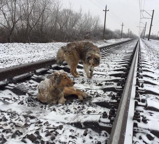 2 Дня ці собаки провели на рейках. Коли ви дізнаєтеся, що відбулося — не зможете стримати сліз!