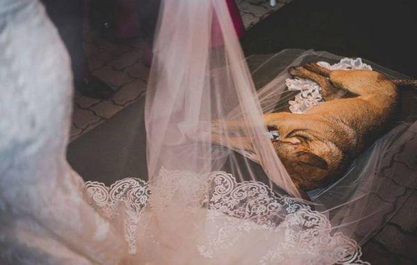 Під час весілля у храм увійшов безпритульний собака і ліг на фату нареченої. Ось що сталося далі!