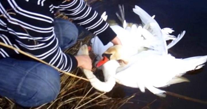 Двоє лебедів молили людей про допомогу.Ви Подивіться, що зробив цей хлопець