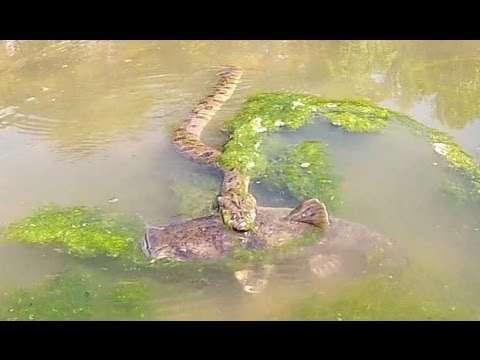 Я підійшов до змії, яка наблизилася до величезної риби. смертельному бою(ВІДЕО)