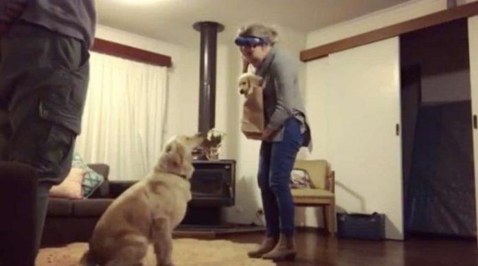 Реакція дорослого собаки на нове цуценя вдома розтопить будь-яке серце!