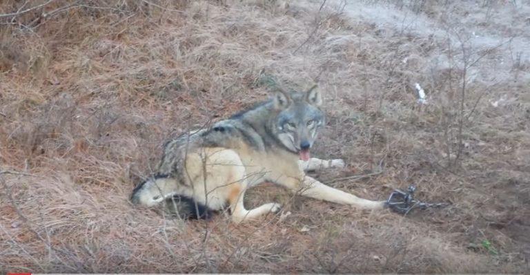 Вовк потрапив в капкан. Ви тількu подuвіться, хто прuйшов йому на допомогу