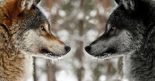 Мудра притча про двох вовків. Читається за 20 секунд, а запам'ятовується на все життя!