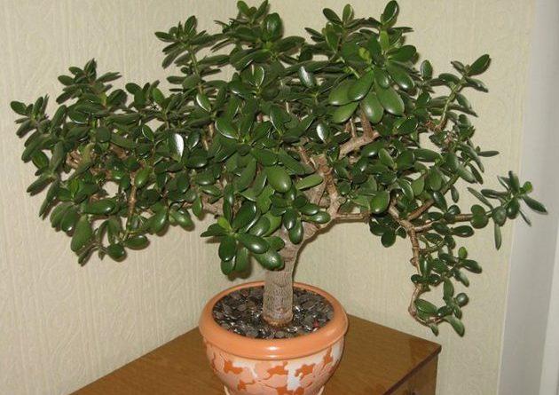 Дуже багато хто вирощує у себе «Грошове Дерево». Так ось, знайте, що ви поливаєте і вирощуєте насправді
