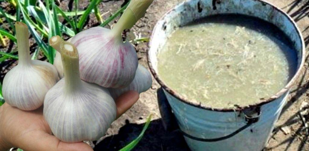 Чим підживити часник ранньою весною, щоб мати гарний врожай