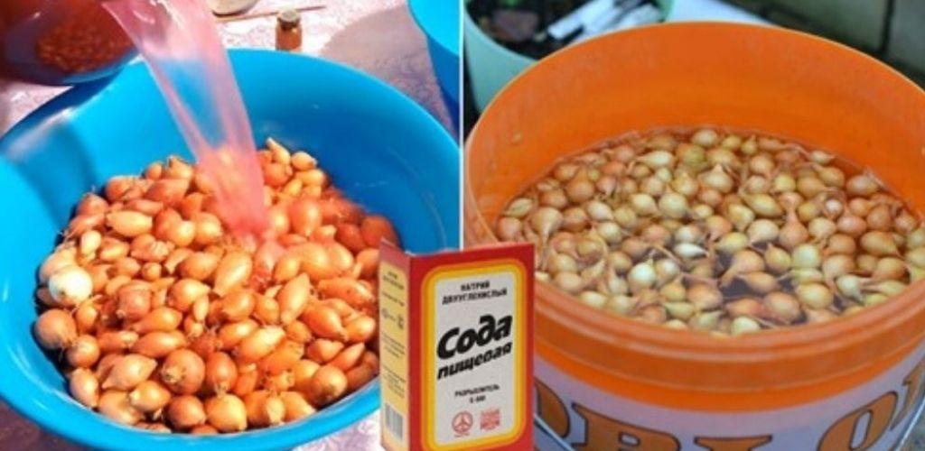 Чим обробити цибулю перед посадкою, щоб мати гарний врожай.