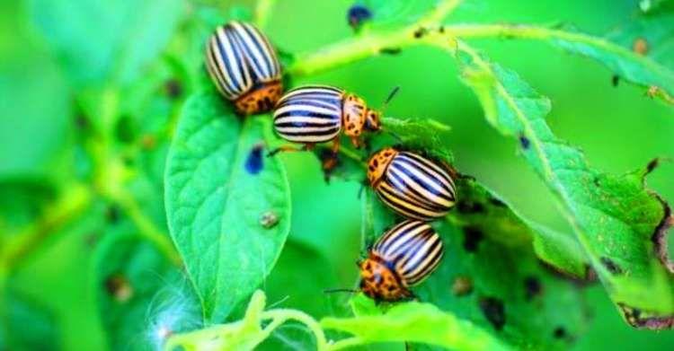 Простий розчин, який допоможе позбутись жука на вашій картоплі