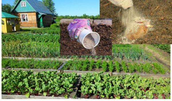 Мій сусід на дачі використовує деревний попіл відрами. У нього зразковий город і завжди шикарний урожай. Ось його основні секpети