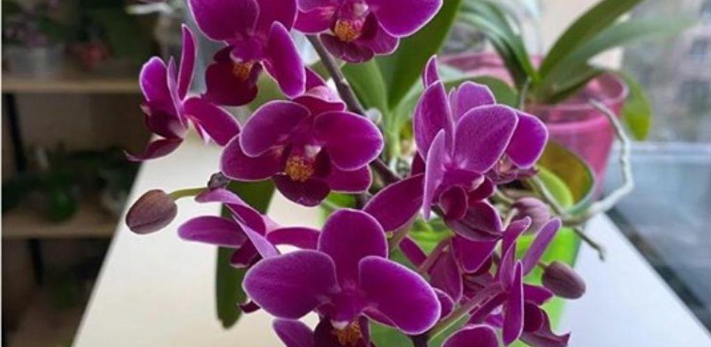 Випросила у працівниці квіткового магазину рецепт підгодівлі. Після неї орхідеї повністю покриваються квітами