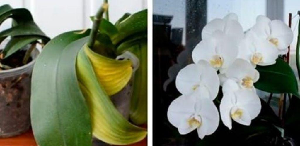Чому у орхідеї в'януть листя? Ось як не дати зів'яти улюбленим квітам