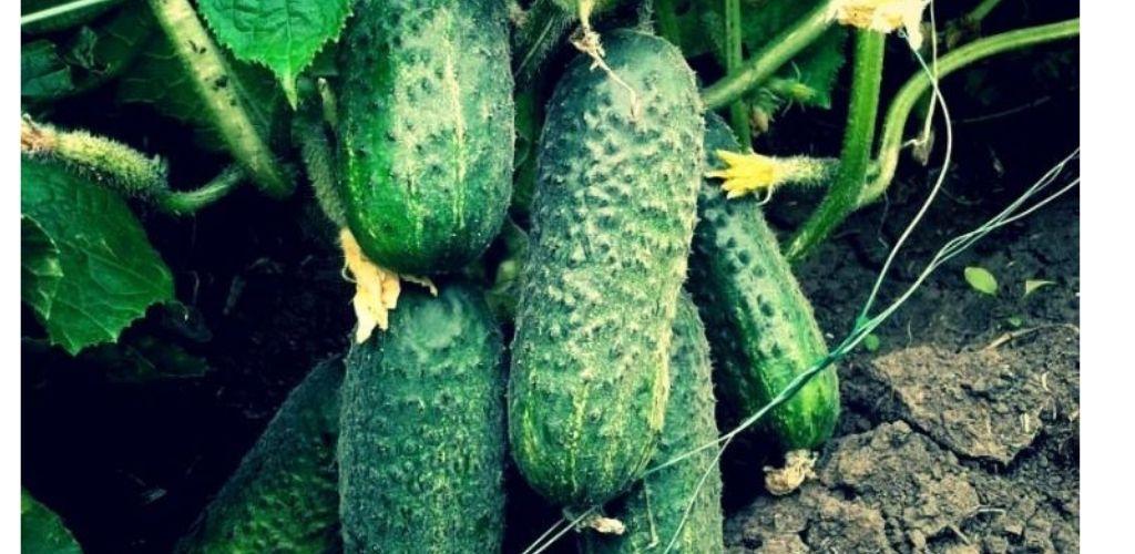 «Годую» огірки содою і вже 2 роки збираю по 11-13 кг плодів з кожного куща