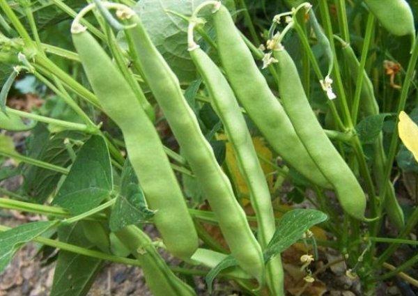 Ось правильно садити квасолі, щоб отримати багатий урожай