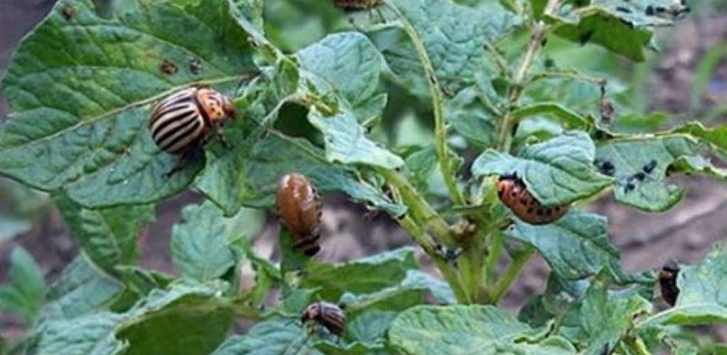 Рецепт простого натурального розчину для позбавлення жука на картоплі