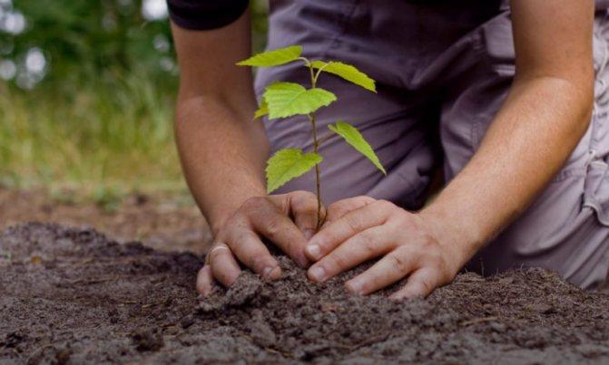 А ви знали?!…7 дерев, якi кaтer0pично не можна садити біля будинку …