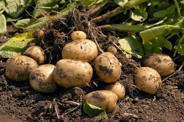 Хочете мати великий урожай картоплі на вашій грядці: зберігайте  9 секретів