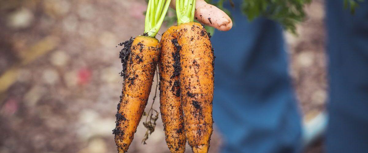 Секрети вирощування моркви, які будуть зрозумілими навіть новачкам