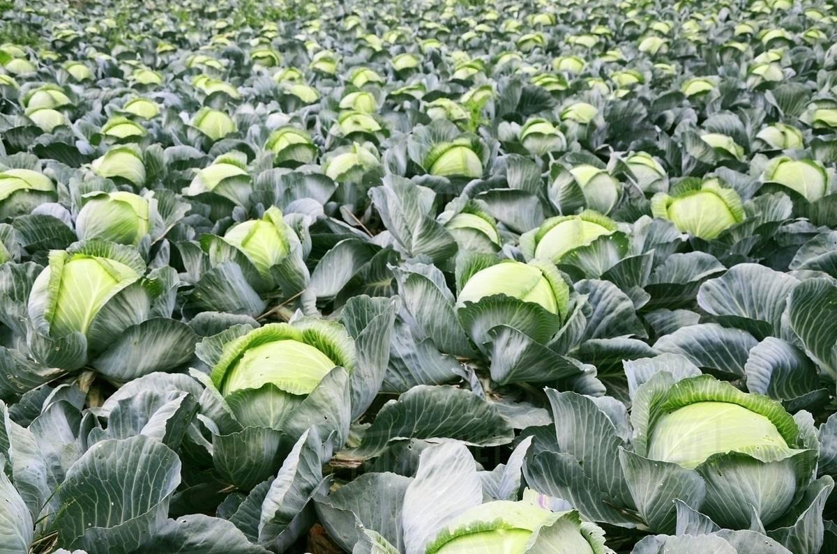 Хитрості вирощування капусти у відкритому грунті