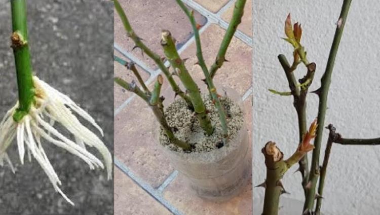 Як за 5 днів можна отримати багато саджанців троянд для своєї ділянки