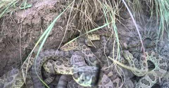 Камера потрапила в яму з отруйними зміями. Мурашки по шкірі від цих кадрів!