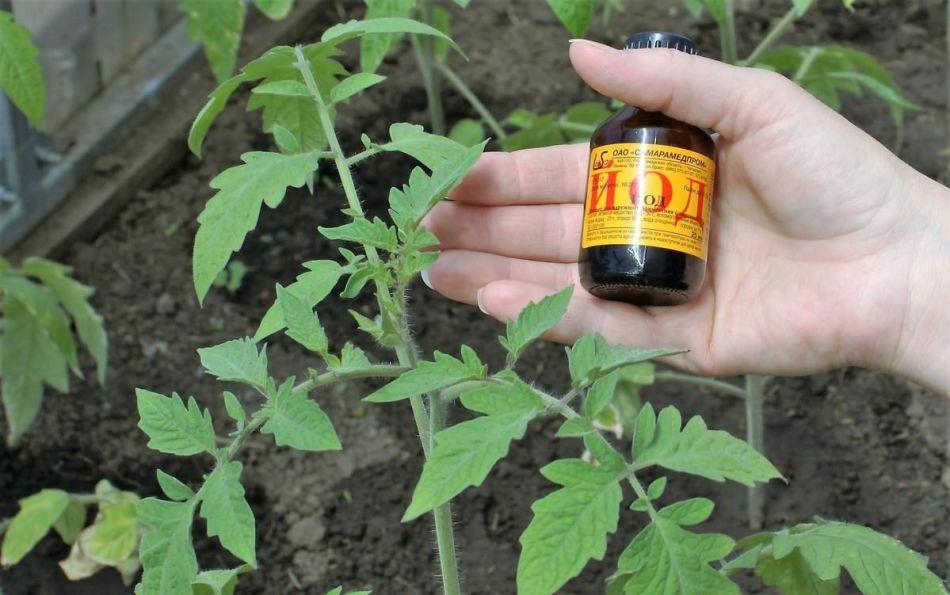 Рекомендації досвідчених дачників: підживлюємо помідори йодом