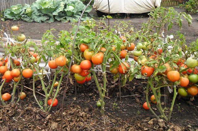 Як доглядати за томатами, щоб на кущах томатів було більше ніж зелені?