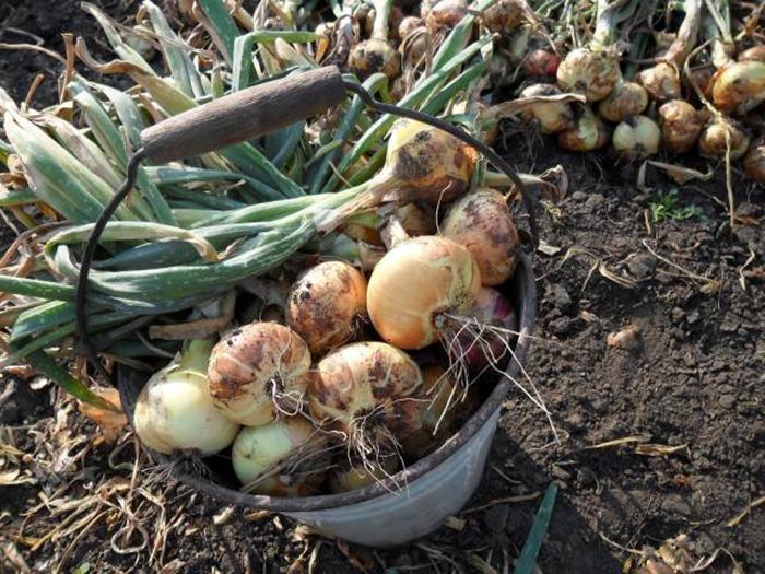 Правильне підживлювання цибулі – підвищує урожайність у кілька раз