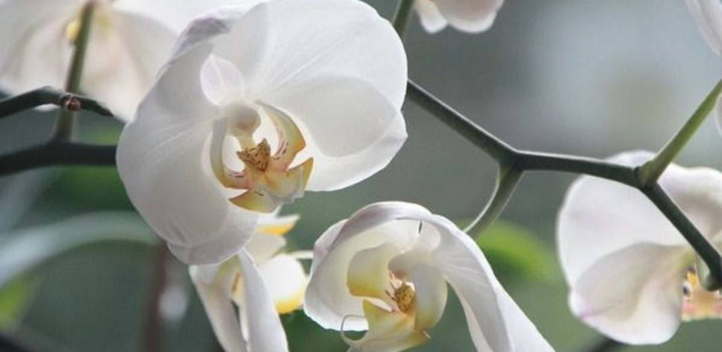 Правильний догляд за орхідеями для новачків: цвітуть немов божевільні